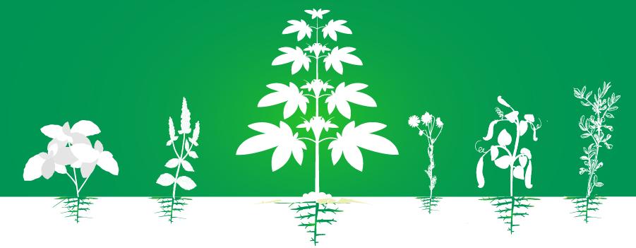 Cultivation de plantation de cannabis complémentaire augmente l'efficacité organique
