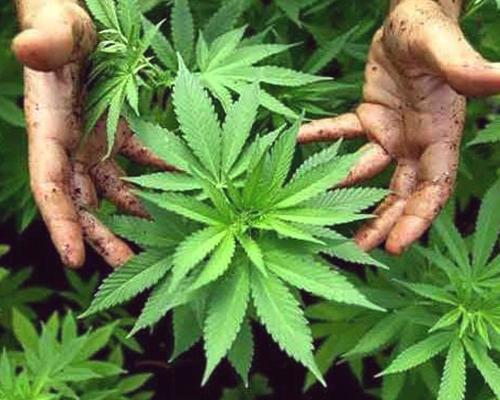 les meilleurs plants de marijuana
