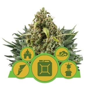 Les 7 Étapes Faciles De La Culture Du Cannabis