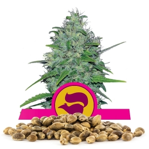 Graine en vrac de Skunk XL