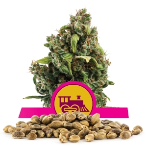 Graine en vrac de Candy Kush Express Fast Flowering
