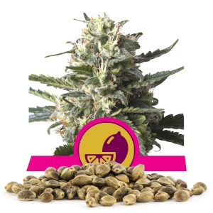 Lemon Shining Silver Haze Bulk Seeds