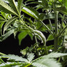 Clips Pour Palissage De Plante Pour LST