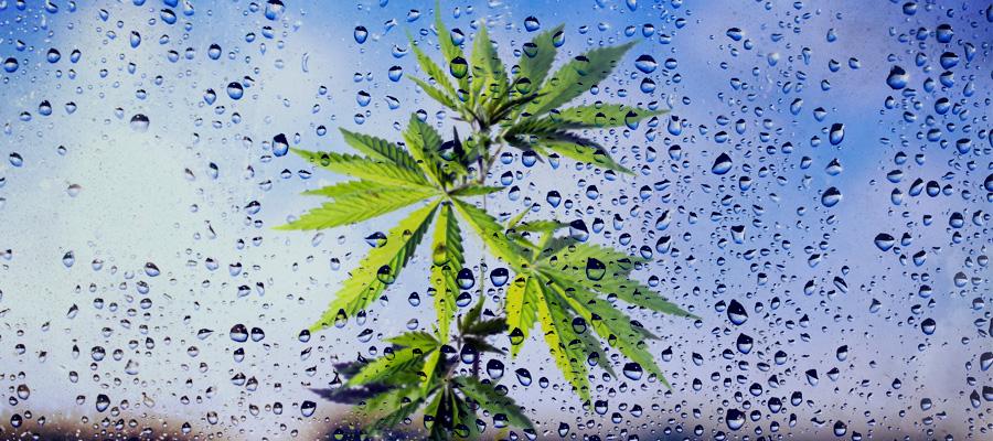 white widow cannabis