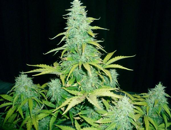 amnesia haze cannabis ruderalis