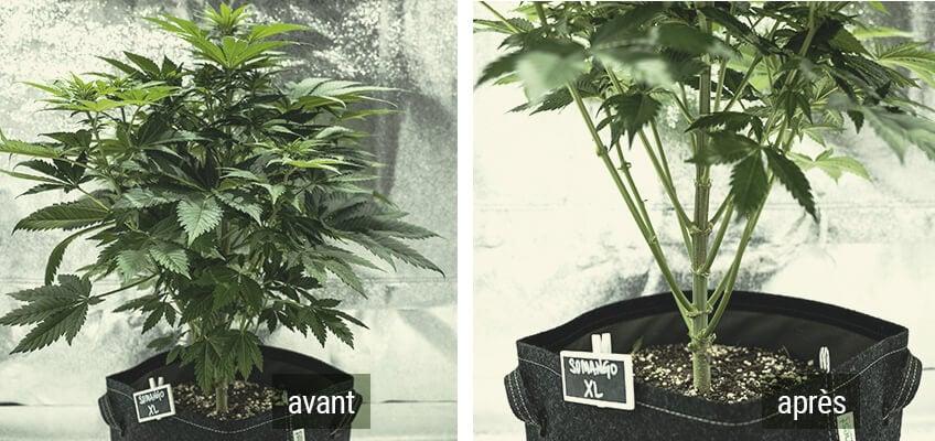 Lollipopping Cannabis Plant avant et après