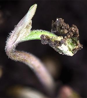 Cannabis Dès La Graine 12-12