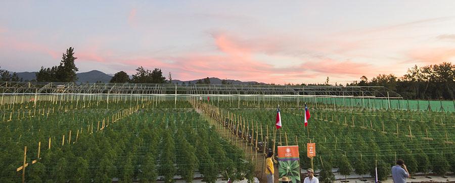 cannabis Chile