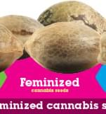 Buy Feminized Cannabis Seeds
