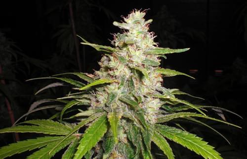 Painkiller Graines de Cannabis Féminisées