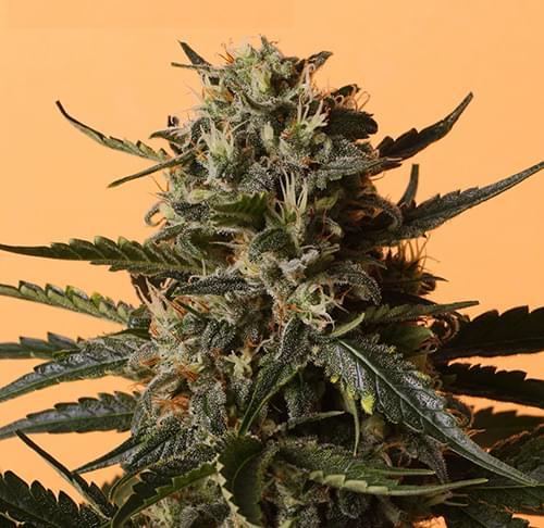 Shining Silver Haze Graines de Cannabis Féminisées