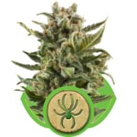 White Widow Autoflowering cannabis seeds