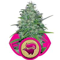 Skunk cannabis seeds