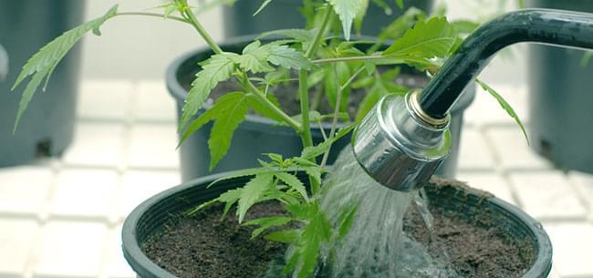 Rincer les Cannabis