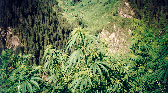 Cannabis UV rayons