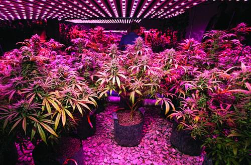 Culture du Cannabis en LED