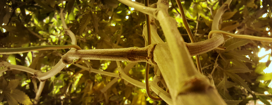 Branches LST culture cannabis