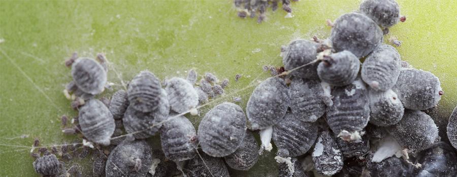 Coccinelles cochenilles Prévention du climat chaud Plantes infectées Cannabis