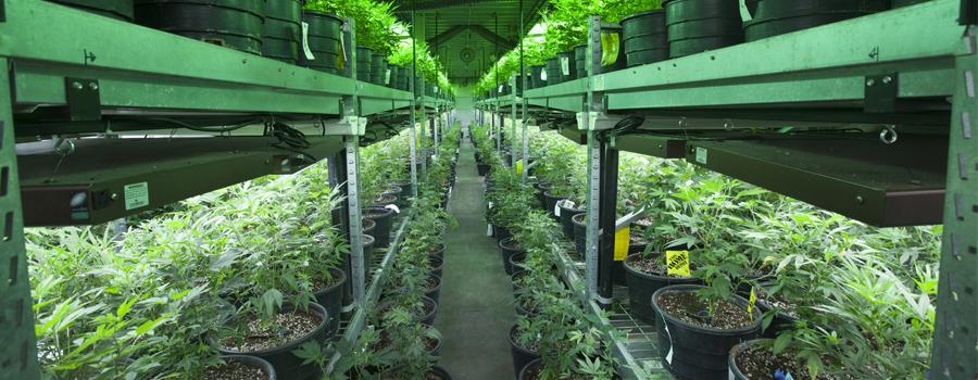 Cultivation à l'intérieur du cannabis