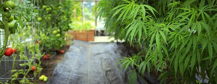 Culture à domicile cannabis Allemagne