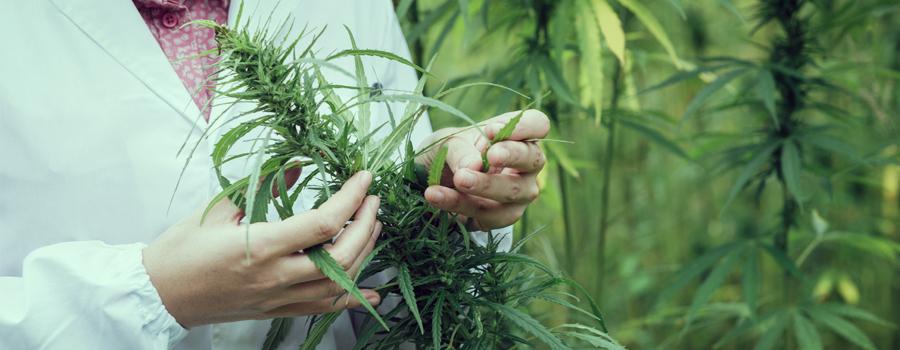 Traitement du trouble bipolaire de cannabis médical à la marijuana médicale
