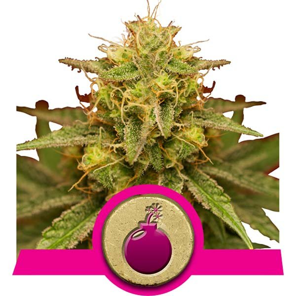 domina royal queen seeds