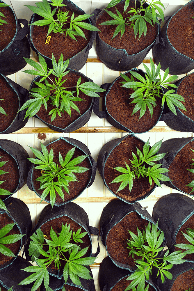 racines de choc pot de greffe de cannabis