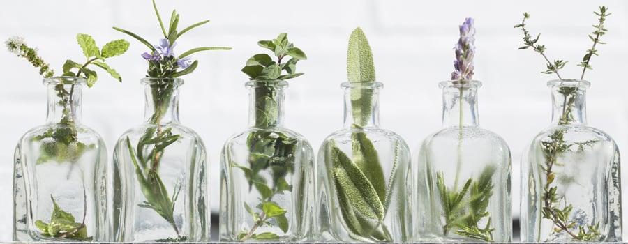Huiles essentielles Cannabis: insectes pucerons