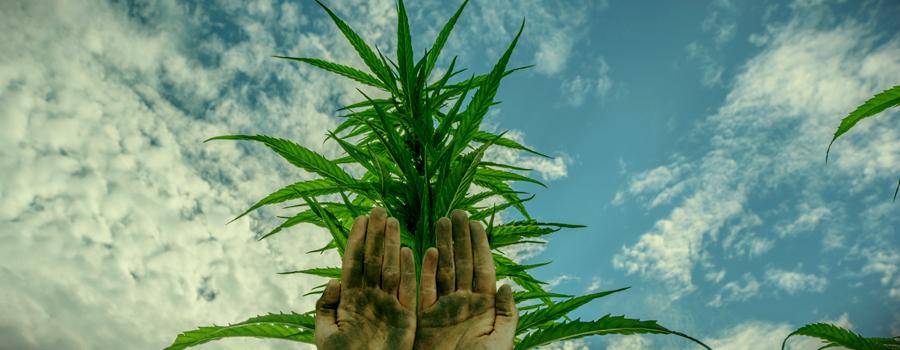 Charas Mans Cannabis Têtes