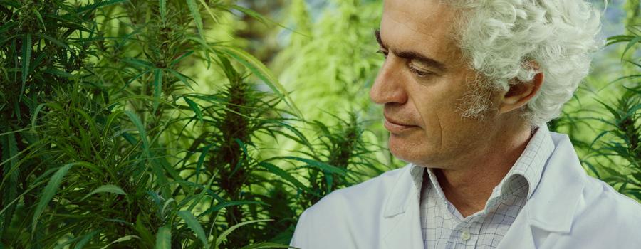 Père prenant soin du cannabis