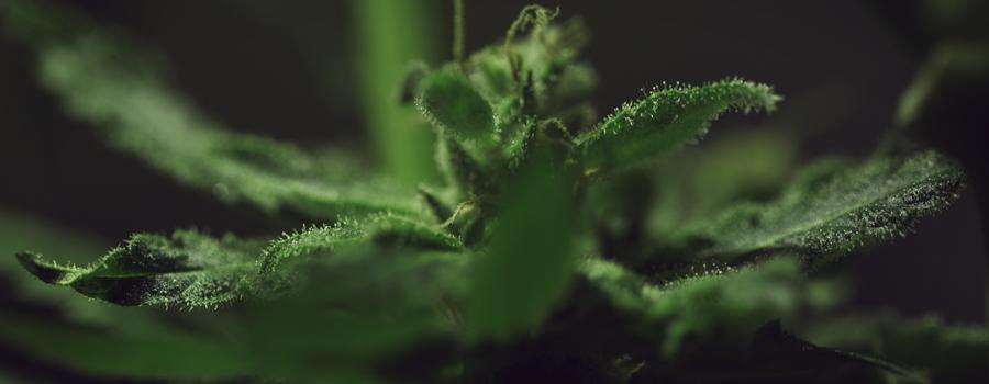 Pinène terpène phytocannabinoïdes potentiel médical