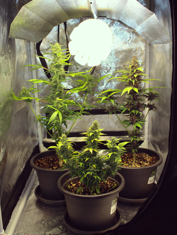 Merveilles de la micro culture cannabis de haute qualit for Plantation cannabis interieur sans materiel