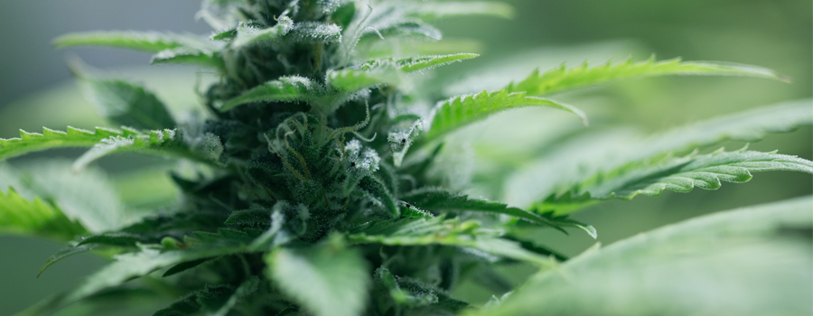 Autofloraison Cannabis Petite