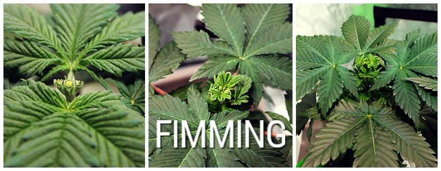 Cannabis Fimming Plante