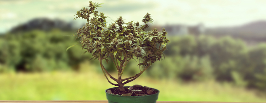 Bonsai Cannabis