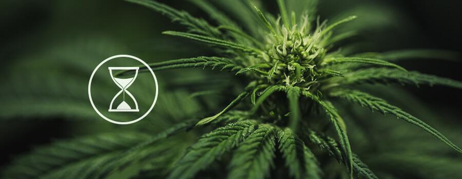 Comment cultivar le cannabis autofloraison royal queen - Comment passer en floraison ...