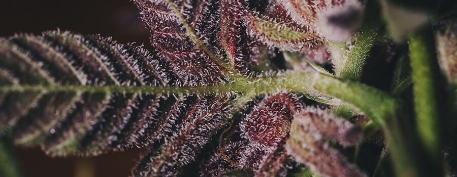 Purple Queen Cannabis Royal Queen Seeds