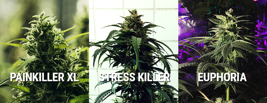 Cannabis Euphoria, Painkiller XL Et Stress Killer