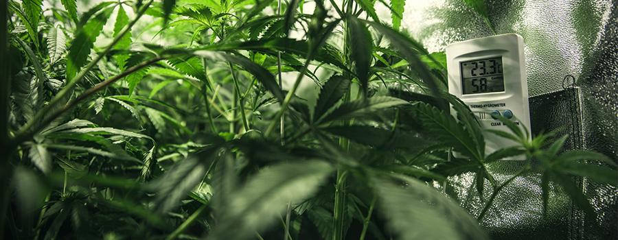 Температура для цветения марихуаны удобрение марихуаны в период цветения
