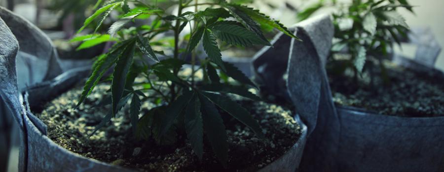 Cannabis cultivé chats et chiens
