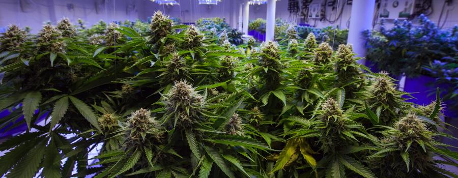Industrie du cannabis en Allemagne