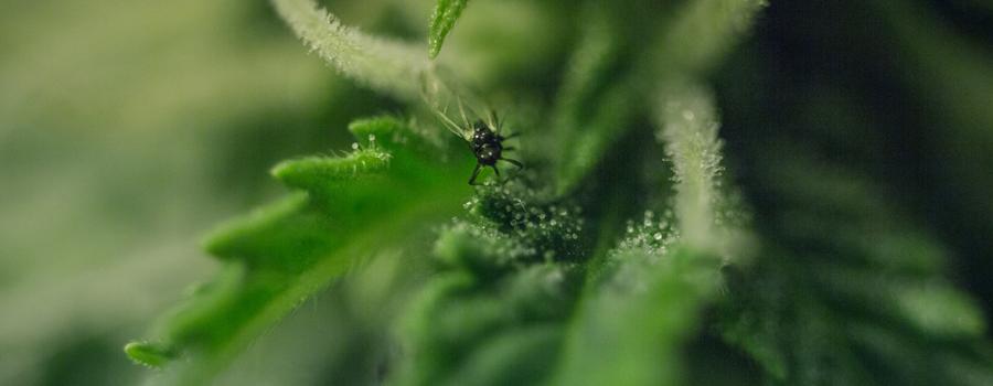 Plantes de cannabis nuisibles