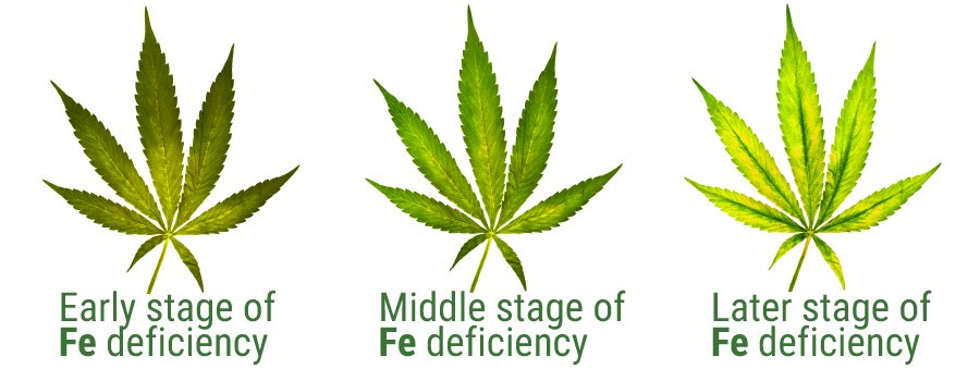 Iron deficiency leaf stage