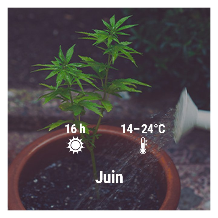 How To Grow Cannabis Outdoors In France, March, April, May