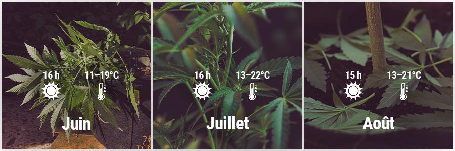 How To Grow Cannabis Outdoors - UK