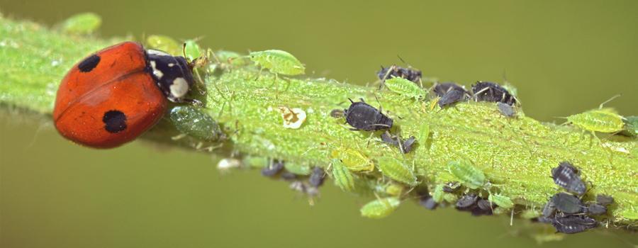 COCCINELLES cannabis
