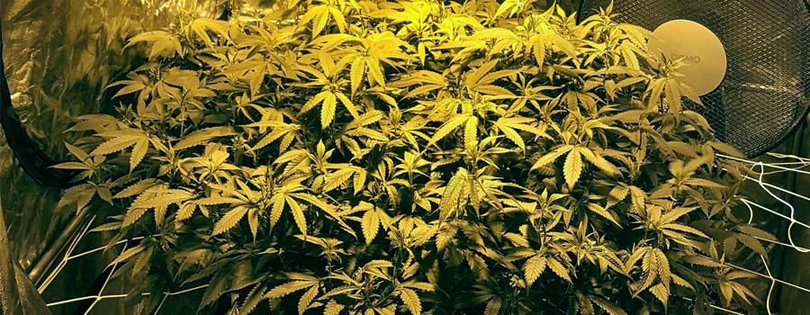 LST résultat cannabis