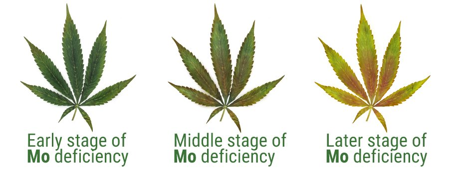 Molybdène deficiency cannabis cultivation