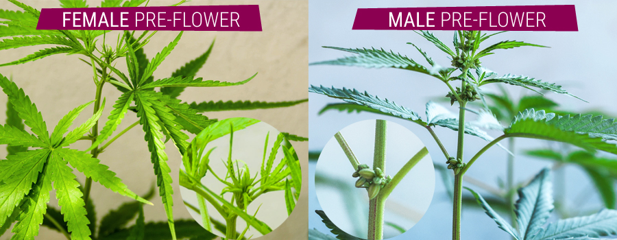 hermaphrodite plantes mâles de comparaison et pré-fleur femelle cannabis