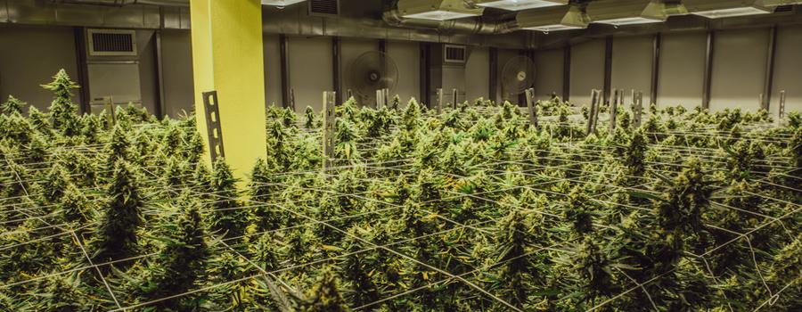 Liaison de l'industrie du cannabis USA californie nouvelle loi du marché Trump